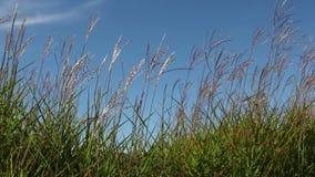 Högväxt dekorativt gräs med Plume Swaying mot blå himmel på en Breezy dag stock video