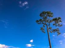högväxt en sörjer trädet royaltyfria bilder