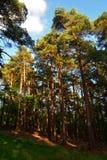Högväxt forntida sörjer i trät i sommar, den nya skogen, England Royaltyfri Fotografi