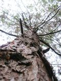 Högväxt gammalt träd arkivbild