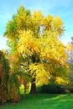 Högväxt gingkobilobaträd i höst Arkivfoton