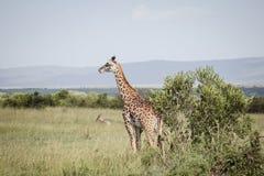 Högväxt giraff i africa 2 Arkivfoto