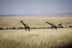 Högväxt giraff i africa 3 Royaltyfri Foto