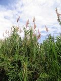 högväxt gräs Arkivfoto