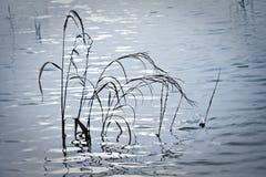 Högväxt gräs i tidvattens- pöl royaltyfria foton