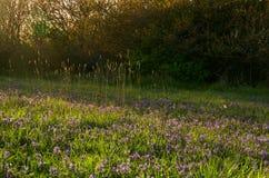 Högväxt gräs och camas liljor tände av det kratta ljuset av aftonen Royaltyfria Foton