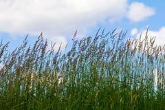 Högväxt gräs på bakgrund för blå himmel royaltyfri foto