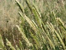 Högväxt gräs på kärnar ur. Royaltyfri Bild