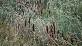 Högväxt gräs som blåser i brisen stock video