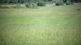 Högväxt gräs som blåser i brisen Den starka vinden lutar ned timothy-gräs phleumpratense i fält till den soliga dagen för sommar arkivfilmer