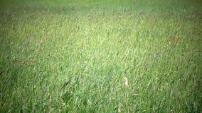 Högväxt gräs som blåser i brisen Den starka vinden lutar ned timothy-gräs phleumpratense i fält till den soliga dagen för sommar lager videofilmer