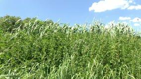 Högväxt grönt gräs svänger i vinden stock video