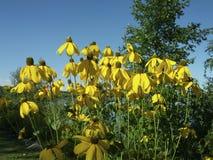 Högväxt guling blommar att blomma i august Arkivbilder
