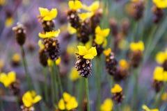 Högväxt Guling-synad gräsblommaXyris indica L Arkivbild