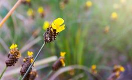 Högväxt Guling-synad gräsblommaXyris indica L Royaltyfri Foto