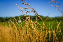 Högväxt gult gräs royaltyfri foto
