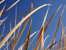 Högväxt gungning för torrt gräs i den blåa himlen för bakgrund royaltyfri fotografi