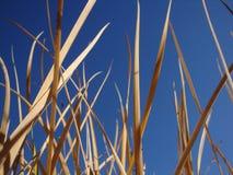 Högväxt gungning för torrt gräs i den blåa himlen för bakgrund royaltyfri bild