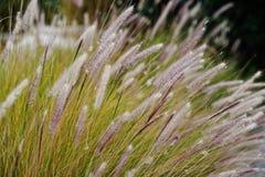 Högväxt gungning för torrt gräs i vinden på sommar royaltyfri foto
