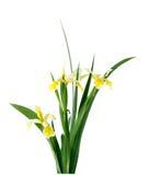 högväxt iris Arkivbild