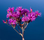 högväxt ironweed royaltyfri fotografi