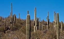 högväxt kaktus Arkivfoton