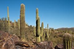högväxt kaktus Arkivfoto