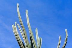 Högväxt kaktus royaltyfria bilder