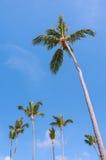Högväxt kokosnötpalmträd Royaltyfria Foton