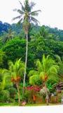 Högväxt kokospalm i Perhentian öar Arkivbilder