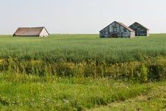 Högväxt korn Fotografering för Bildbyråer