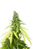 Högväxt marijuanaknopp på den fullvuxna cannabisväxten vid vit bakgrund Arkivfoto