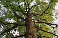 högväxt oak Royaltyfri Bild