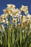 högväxt påskliljar Royaltyfria Foton
