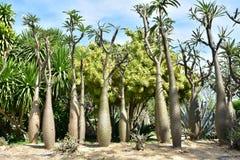 Högväxt Pachypodium Geati kaktus arkivfoton