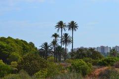 Högväxt palmträd Royaltyfria Bilder
