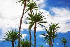 Högväxt palmträd Fotografering för Bildbyråer