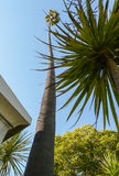 Högväxt palmträd i Santa Barbara beskickningträdgård Arkivfoto