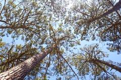 Högväxt sörja träd i en molnfri himmel i sommar Royaltyfria Bilder