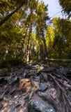 Högväxt sörja träd rotar Fotografering för Bildbyråer