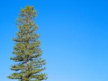 Högväxt sörja trädet på klar blå himmel kopiera avstånd arkivfoto