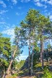 Högväxt sörja Trees arkivbilder