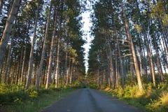Högväxt sörjer och vägen i ottaljus i nordliga Minnesota Arkivbild