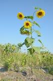 Högväxt solros för liv i lös closeup med gula blommor Royaltyfri Fotografi