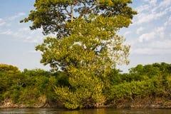 Högväxt stearinljusträd längs flodstranden, Pantanal Arkivfoto