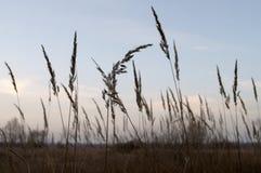 Högväxt torrt gräs i höstaftonfältet Arkivfoto