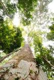 Högväxt träd Fotografering för Bildbyråer