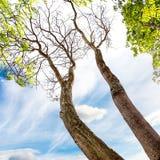 Högväxt träd Royaltyfri Fotografi