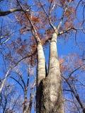 Högväxt träd Arkivfoto