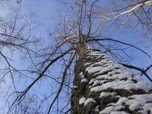 Högväxt träd för vinter med skället, som rappas med snö mot en blå himmel royaltyfria bilder